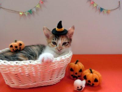 ハロウィンコスプレした猫
