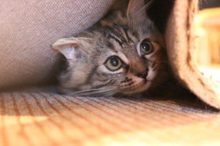 怖がって隠れる猫
