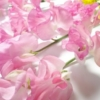 桃の節句の桃の花