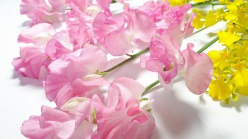 ピンクのスイートピー