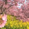 春の桜と菜の花